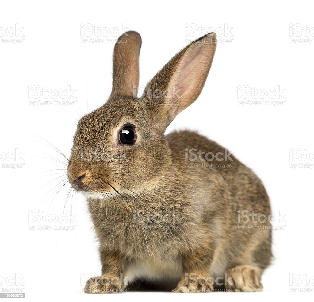 European rabbit, 2 months old, Oryctolagus cuniculus against white background stock photo