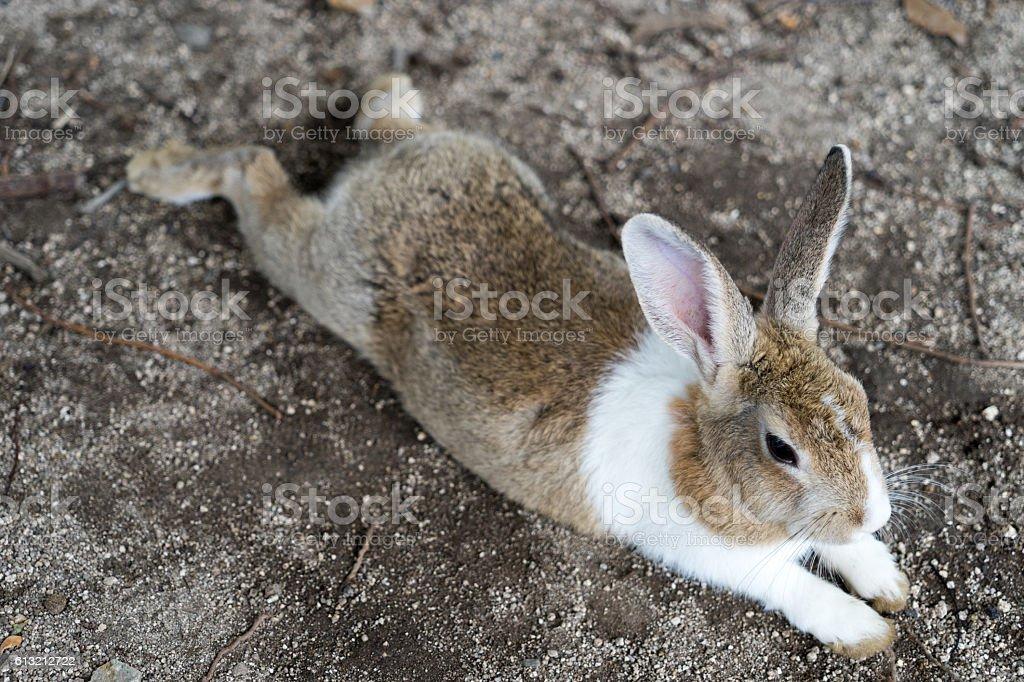 European rabbit in rabbit island, Hiroshima. stock photo