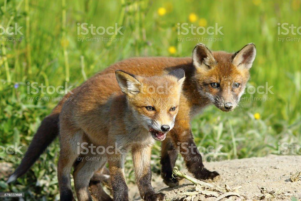 european red fox wild cubs stock photo