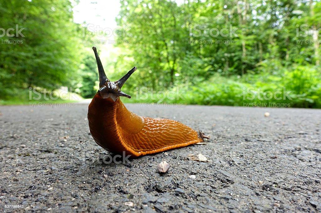 European Red Slug - Arion rufus stock photo