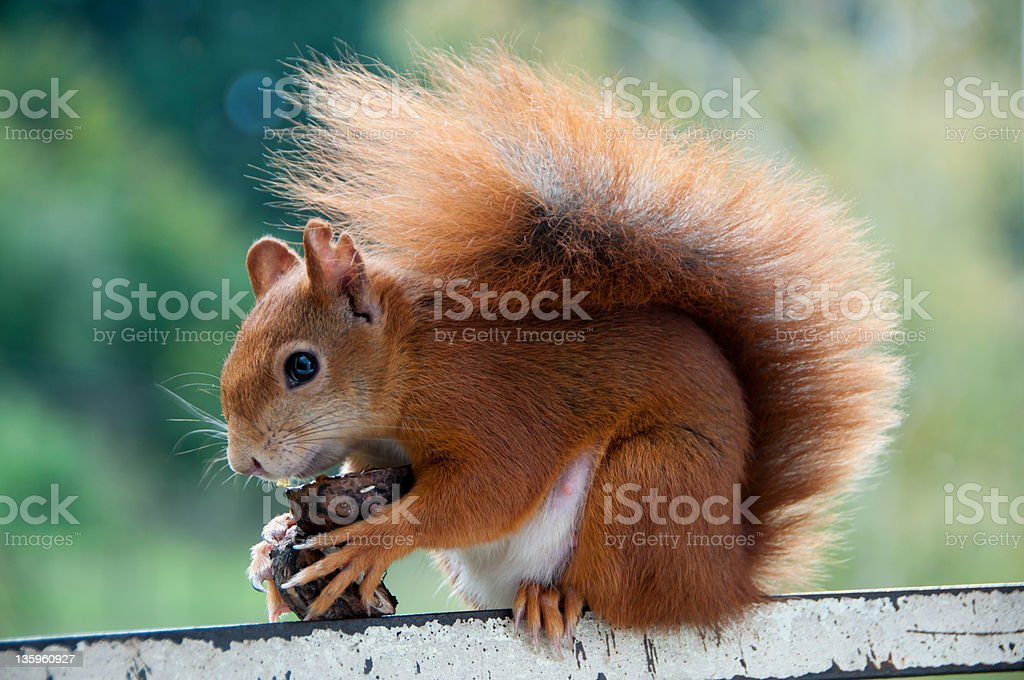 European Red Squirrel royalty-free stock photo