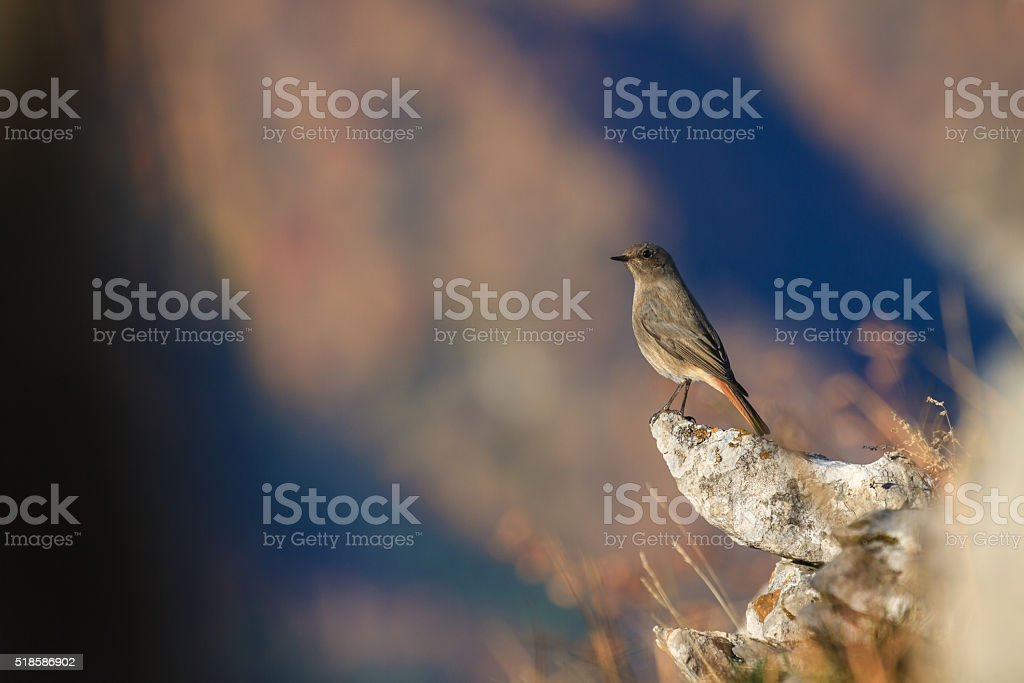 European Redstart stock photo