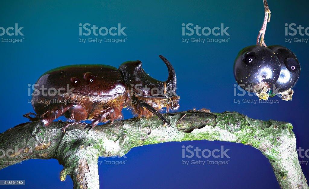 European rhinoceros beetle and Blackcurrant stock photo