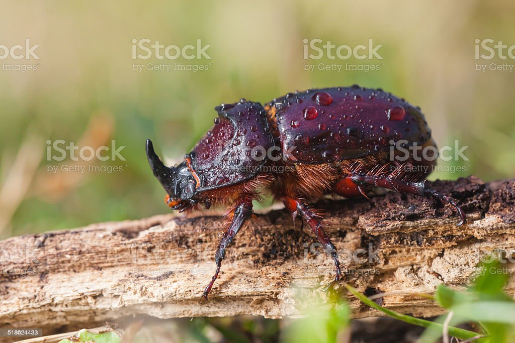 European Rhinoceros Beetle in Grass stock photo