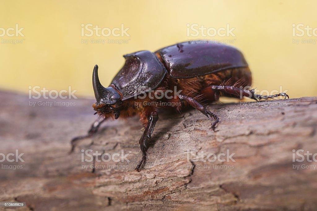 European Rhinoceros Beetle Macro Image stock photo