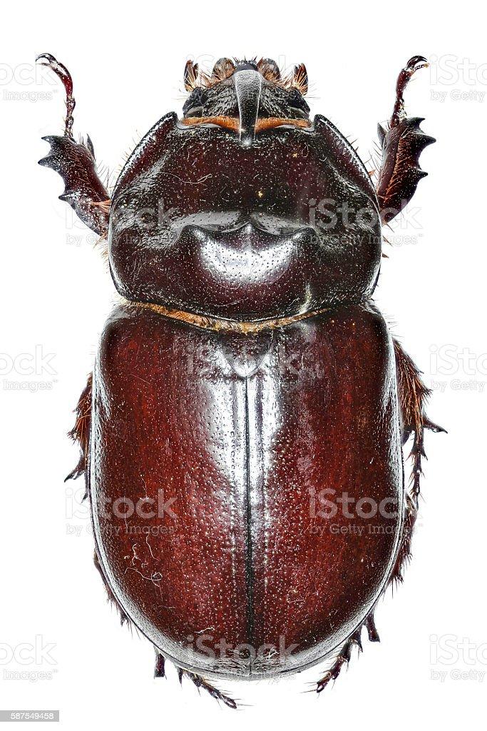 European rhinoceros beetle on white Background stock photo