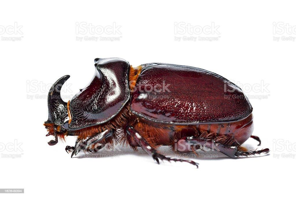 European Rhinoceros Beetle ( Nashornkäfer ) , Oryctes nasicornis stock photo