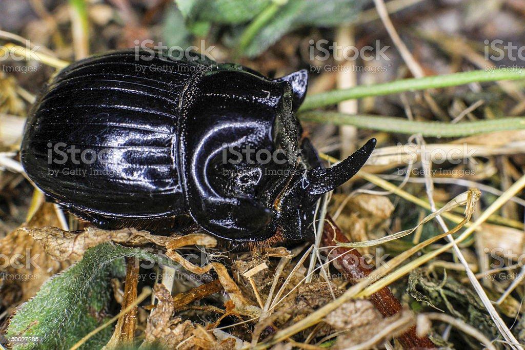 European rhinoceros beetle stock photo