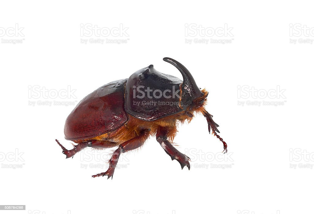 European rhinoceros beetle. stock photo
