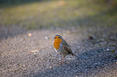 European Robin feeding on the ground