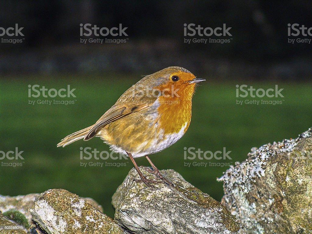 European Robin on stone wall royalty-free stock photo