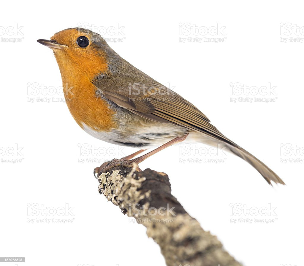 European Robin perched on a branch, Erithacus rubecula royalty-free stock photo