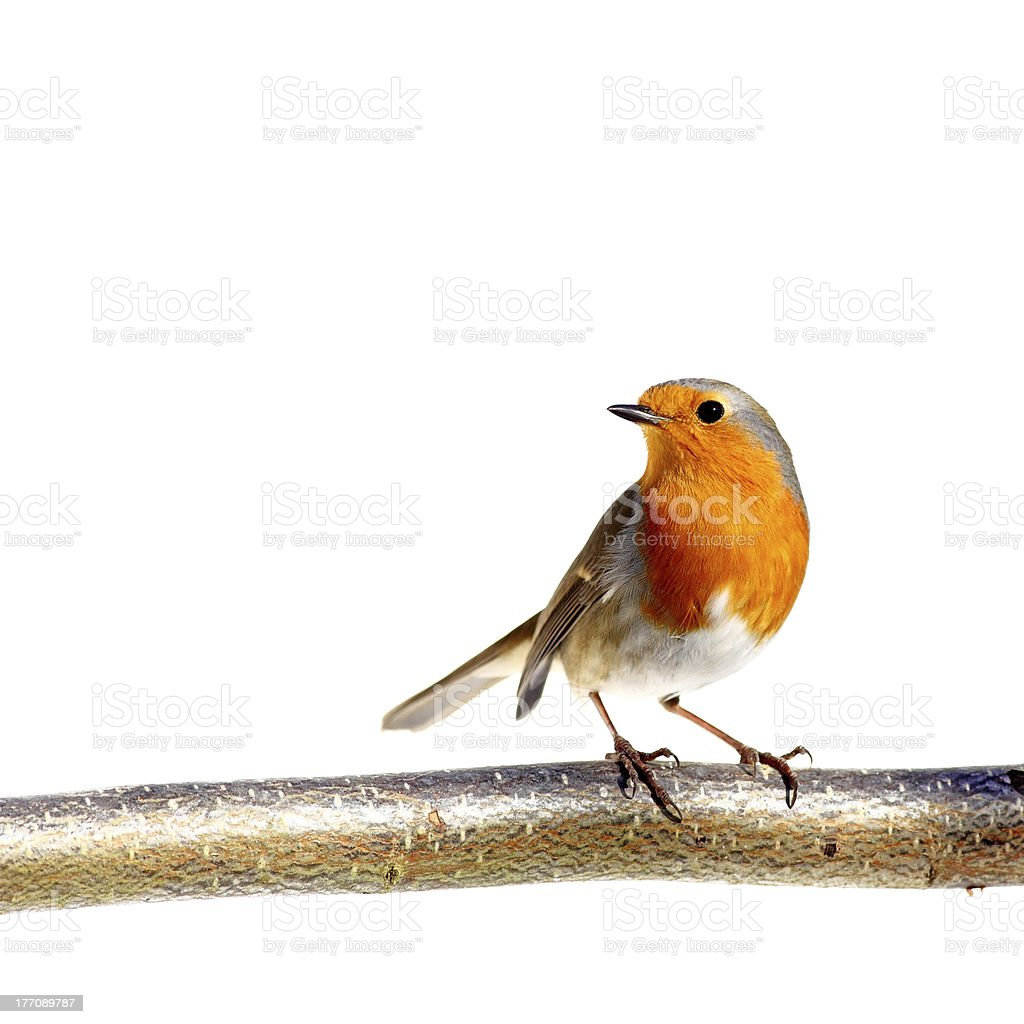 European robin perched on a tree branch stock photo