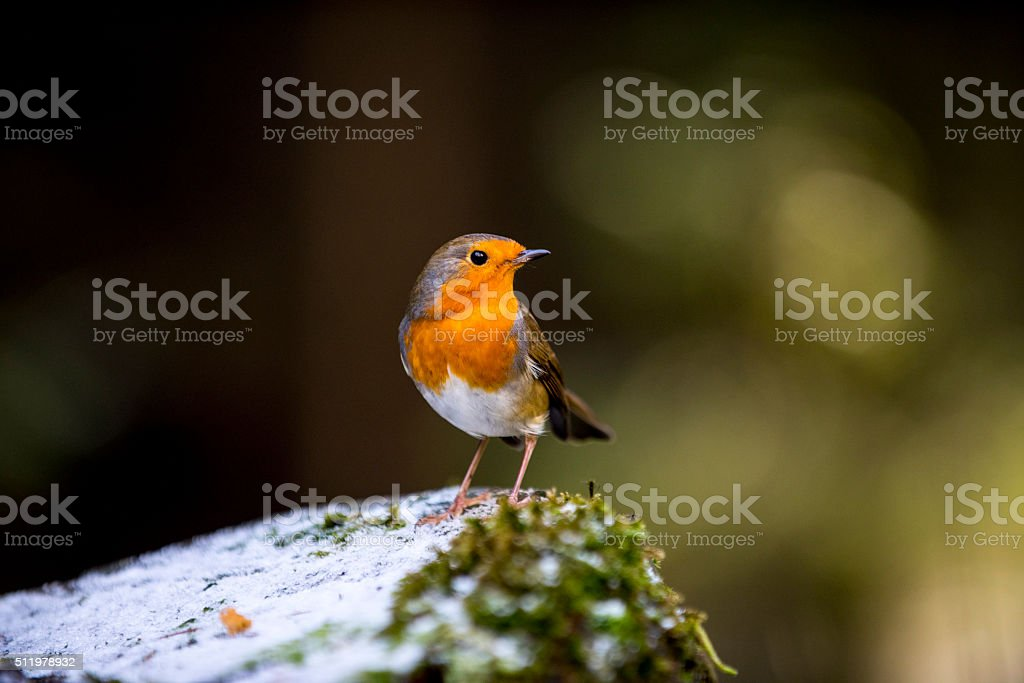 European Robin (Erithacus rubecula) stock photo