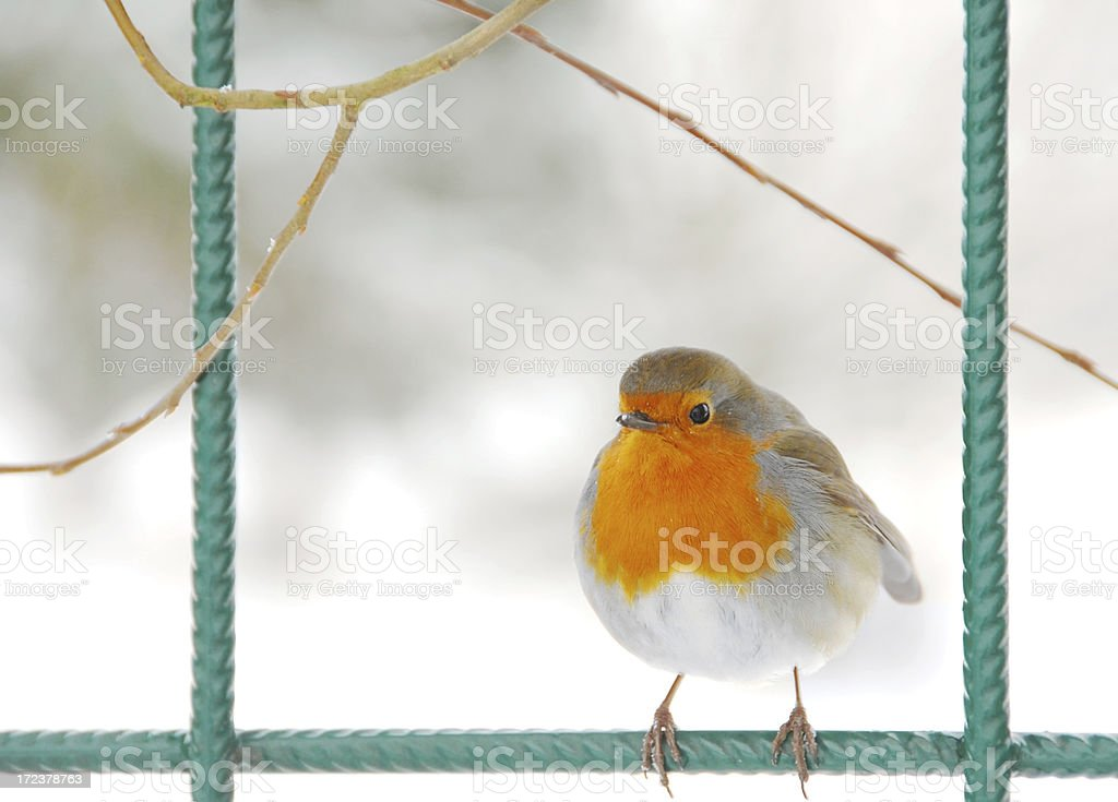 European Robin resting on a fence stock photo