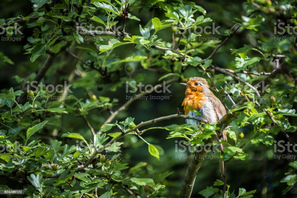 European Robins stock photo