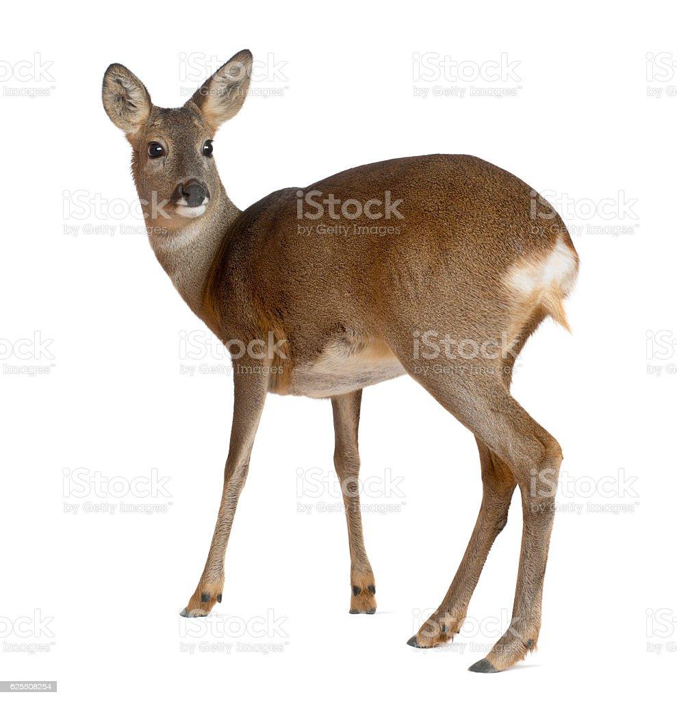European Roe Deer, Capreolus capreolus, 3 years old, standing stock photo