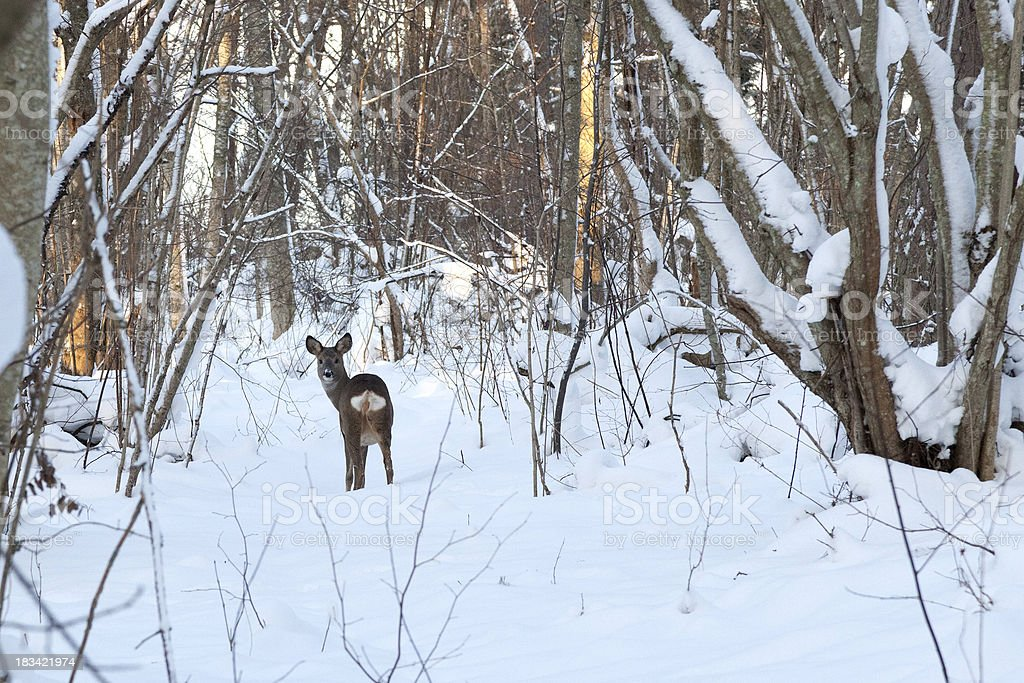 European Roe Deer in snow stock photo