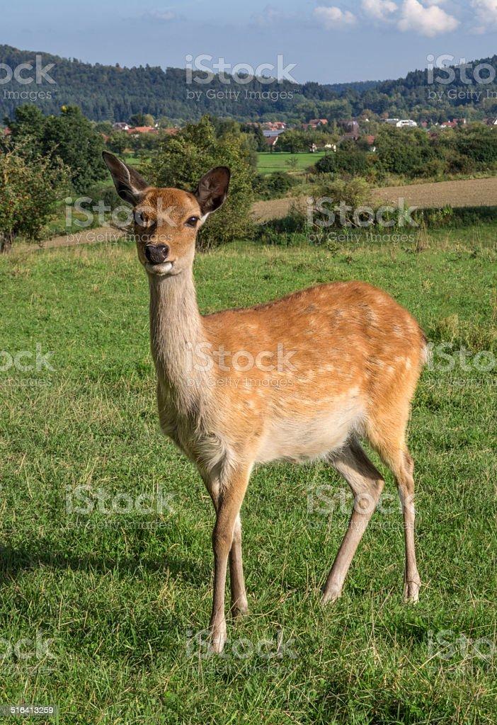 European roe deer royalty-free stock photo