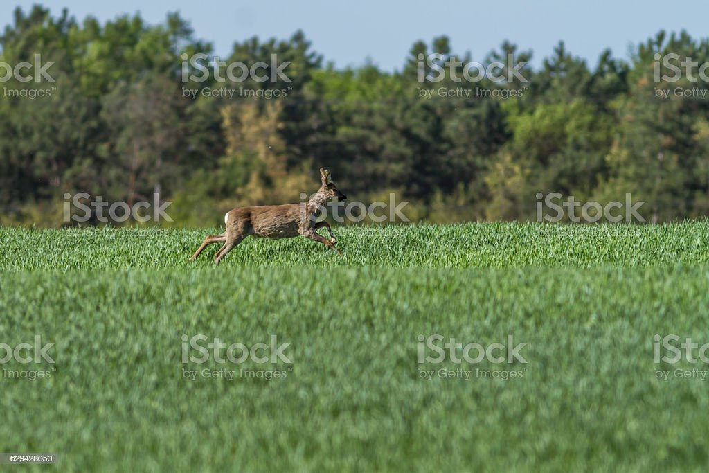 European roebuck in springtime on the cereal field stock photo