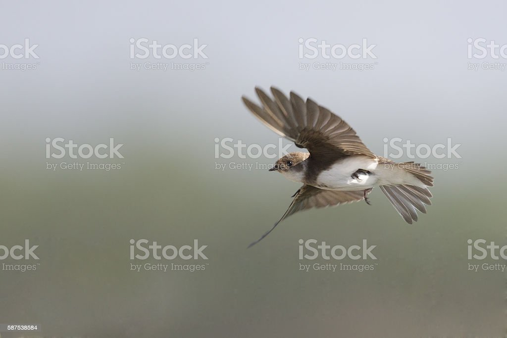 European Sandmartin in flight hunting for insects. stock photo