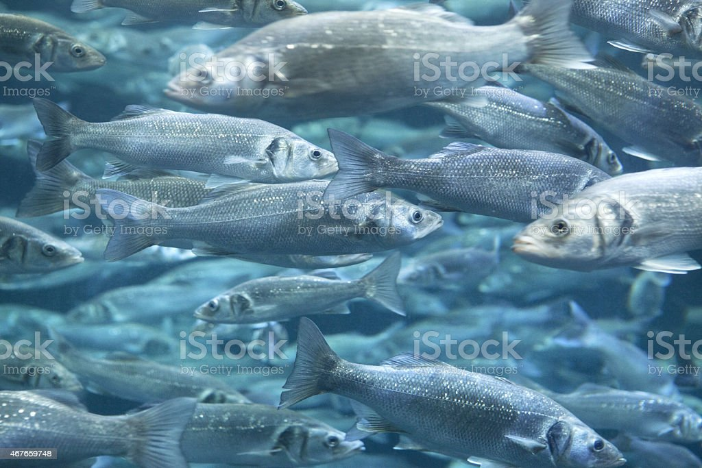 European Sea Bass stock photo