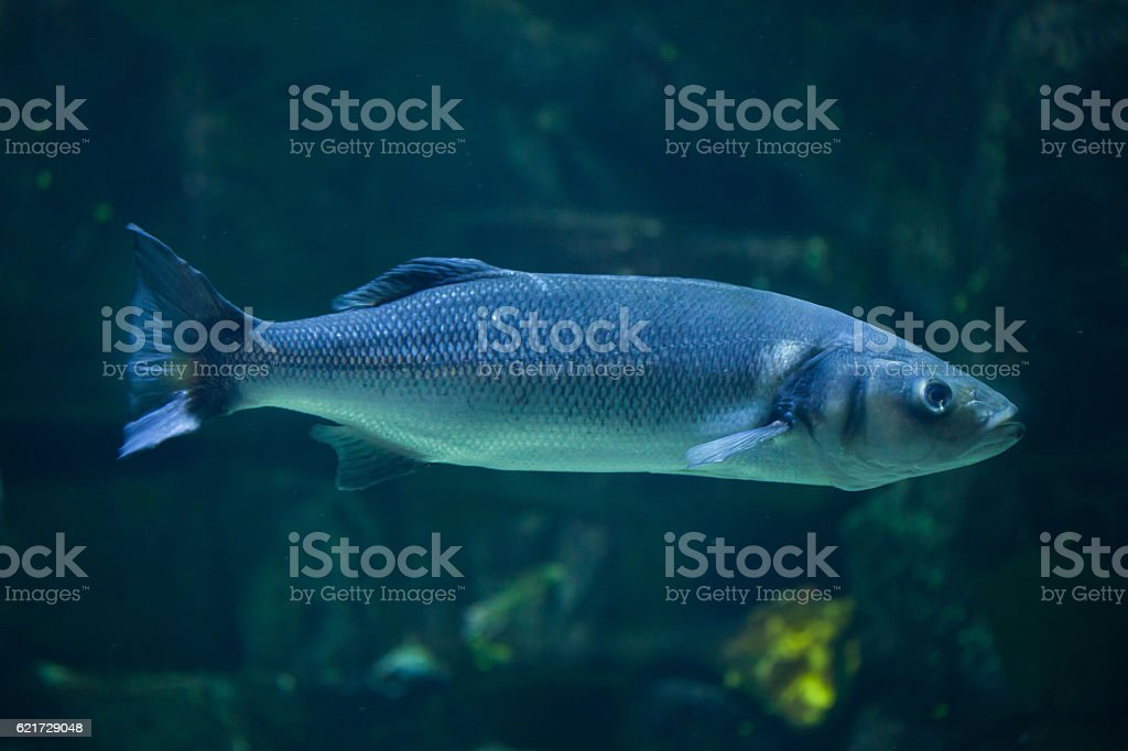 European seabass (Dicentrarchus labrax) stock photo