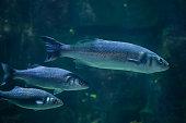 European seabass (Dicentrarchus labrax)
