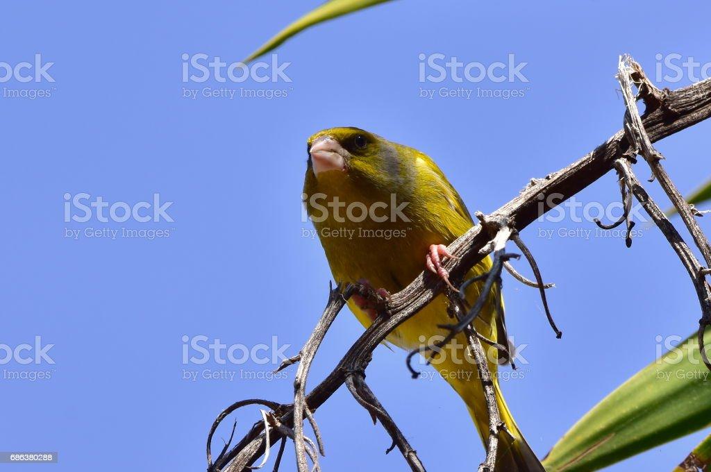 european serin bird stock photo