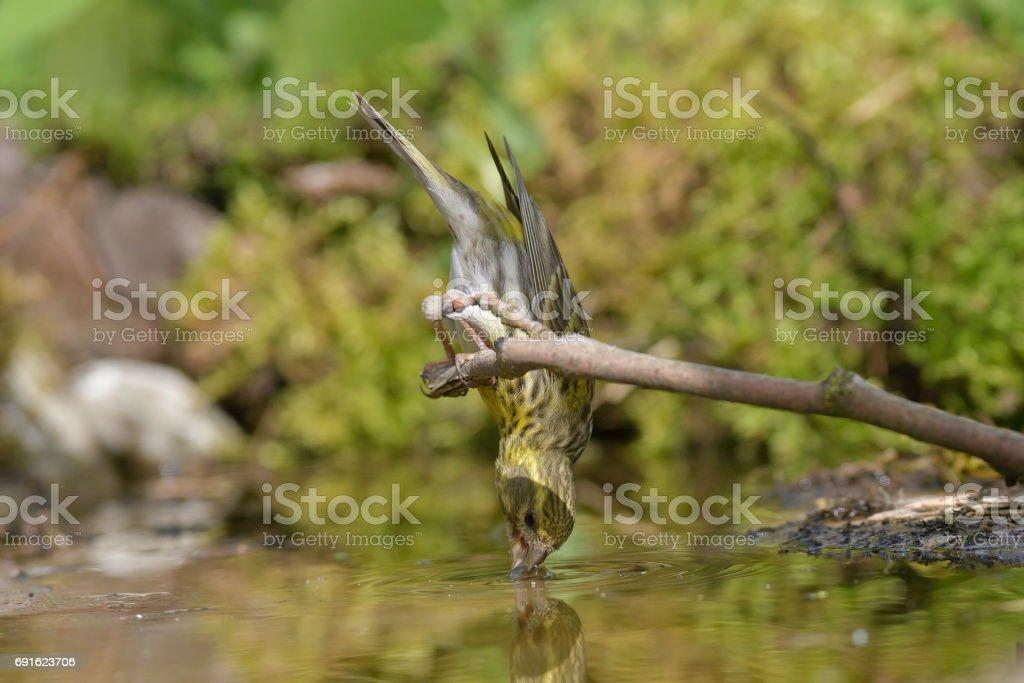 European serin drinking (Serinus serinus) stock photo