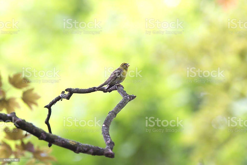 European Serin singing in sun. stock photo