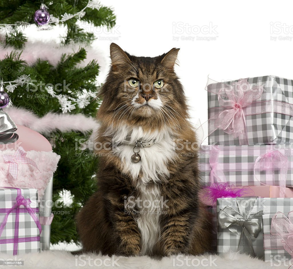 European Shorthair, 11 years old, sitting with Christmas tree royalty-free stock photo