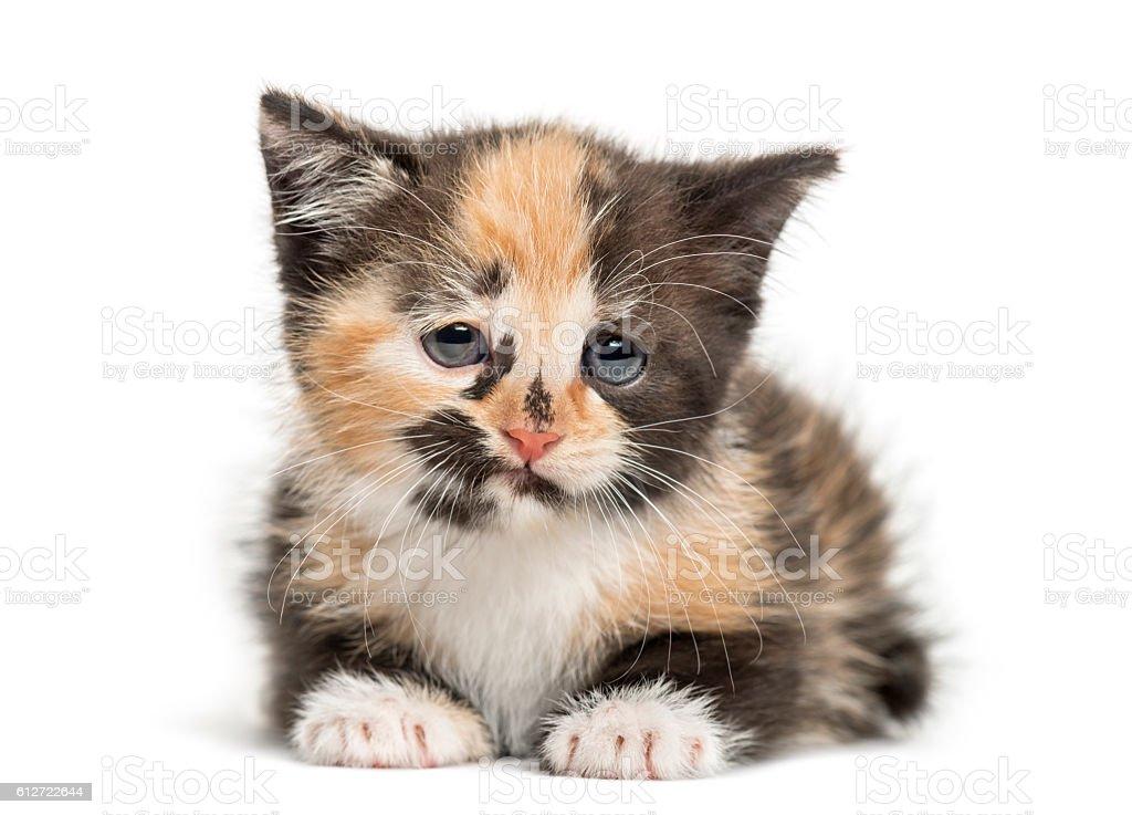 European Shorthair kitten, 1 month old, isolated on white stock photo