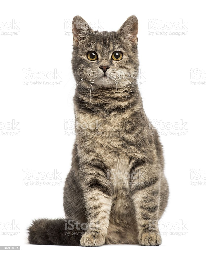 European Shorthair (6 months old) sitting stock photo