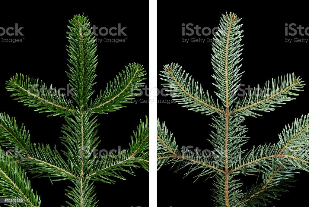 European silver fir branch upper side over black stock photo