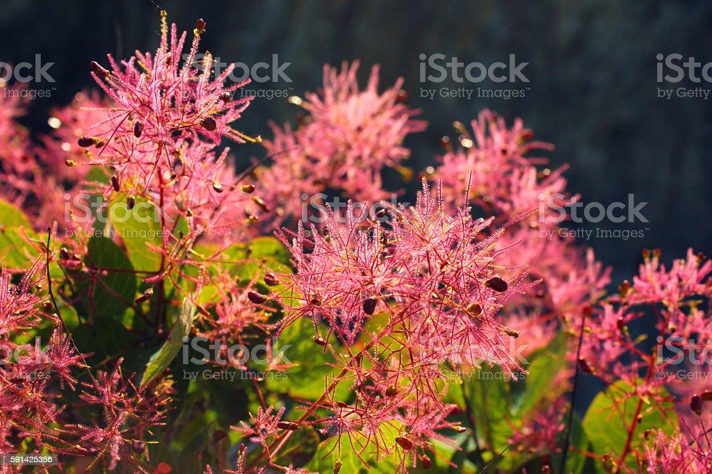European smoketree (Cotinus coggygria) in blossom stock photo