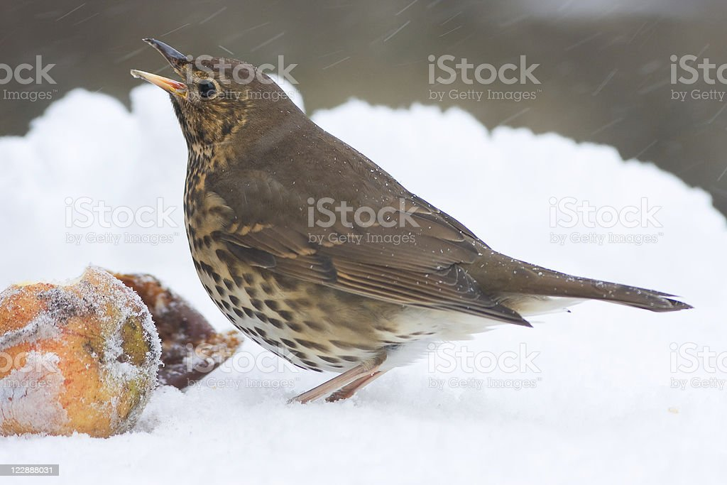 European Song Thrush with Apples in Winter Snowstorm royalty-free stock photo