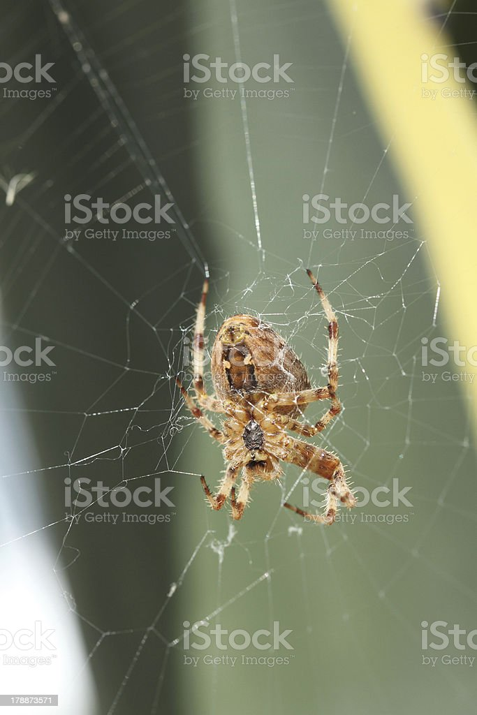 european spider royalty-free stock photo