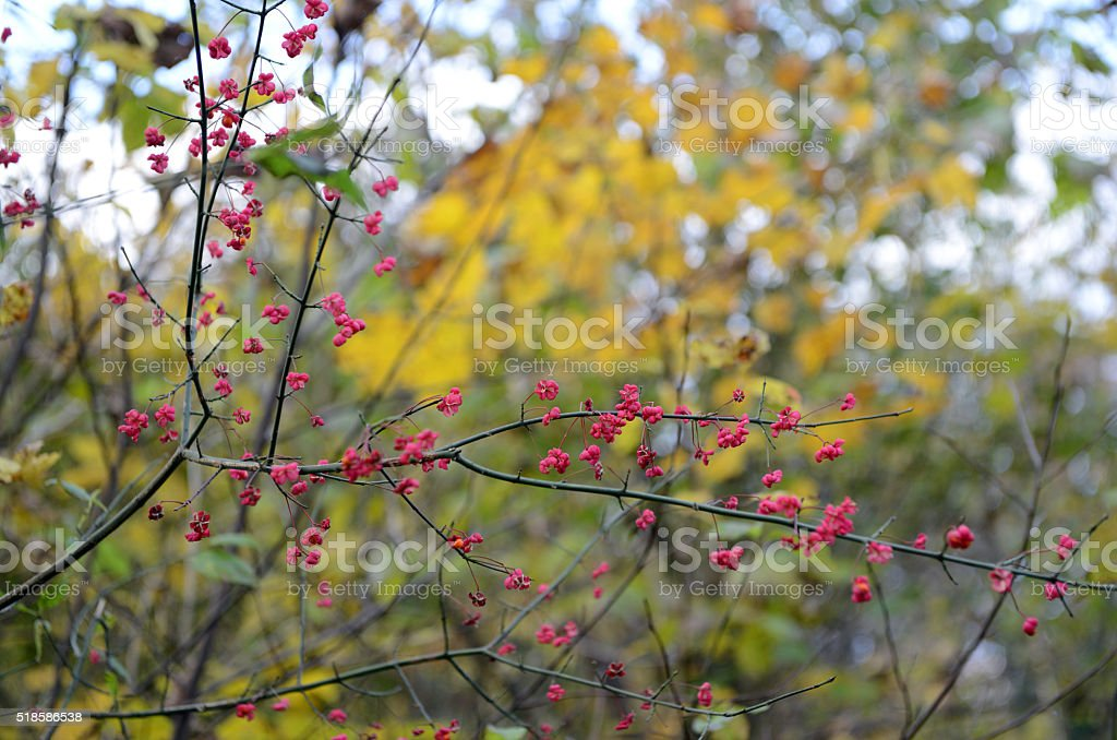 European spindle with red fruits. stock photo