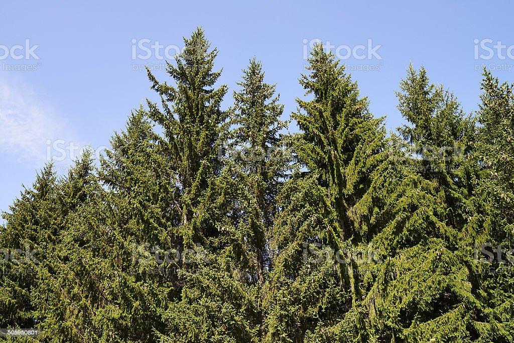 European Spruce stock photo
