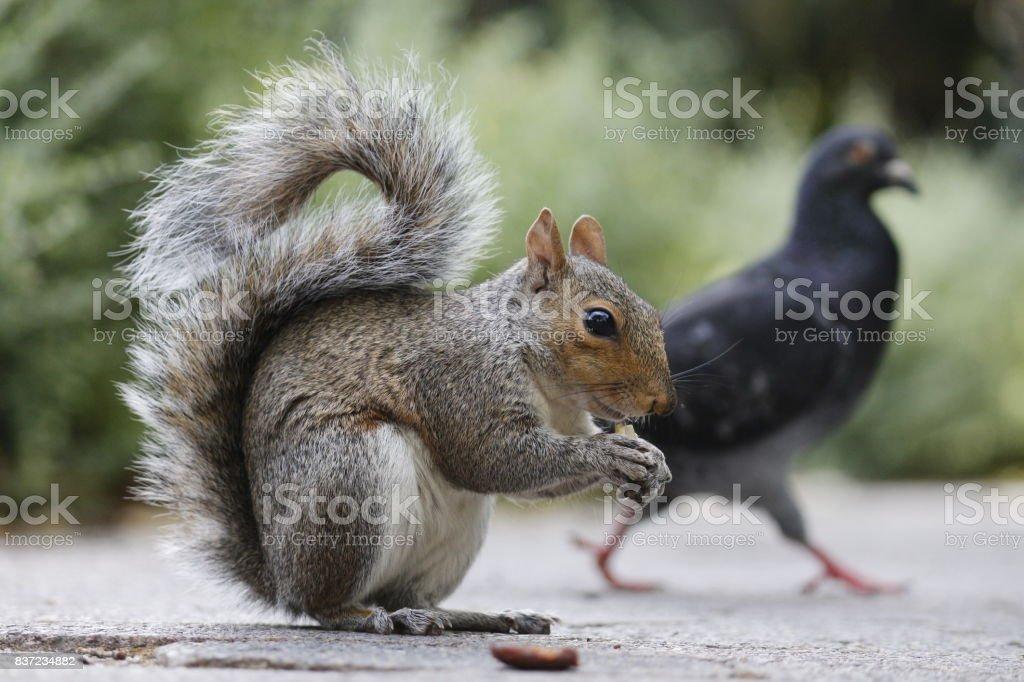 European squirrel feral pigeon Company's garden cape town stock photo