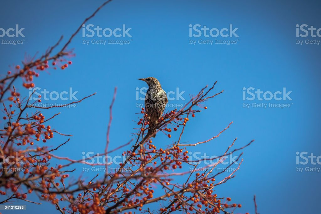 European Starling on a tree with red fruits stock photo