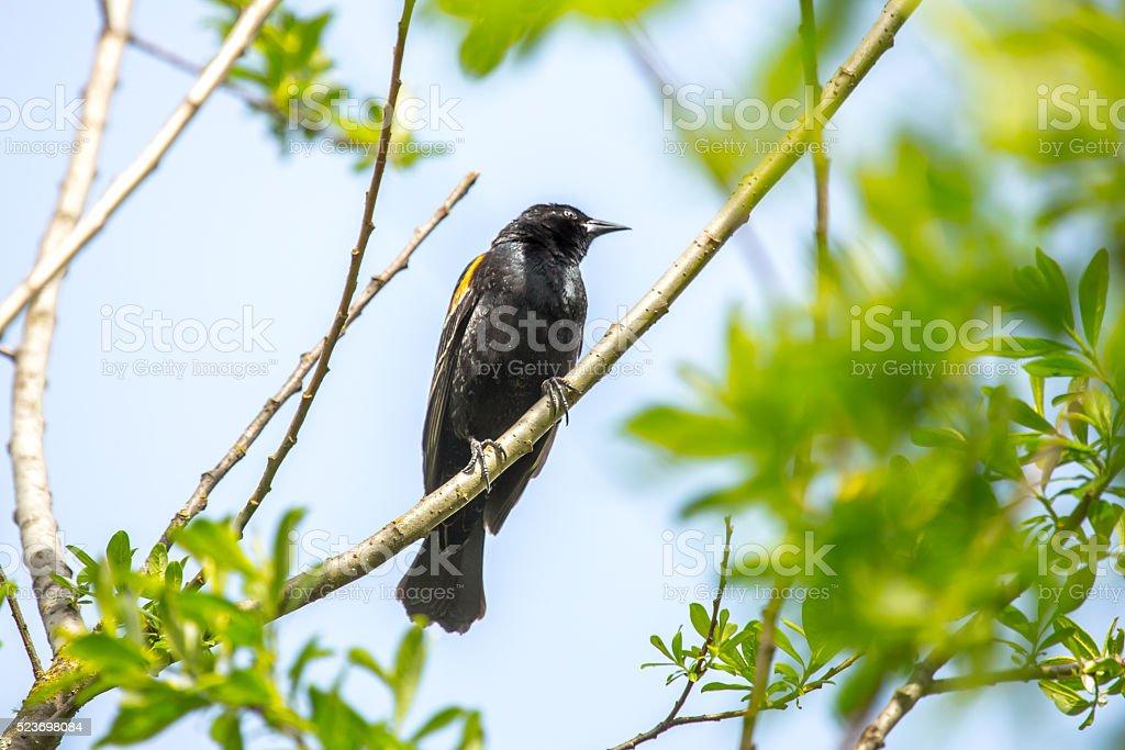 European Starling Perching stock photo