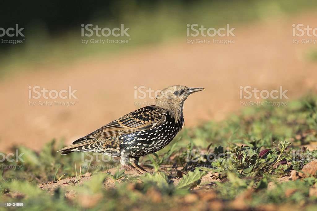 European Starling royalty-free stock photo