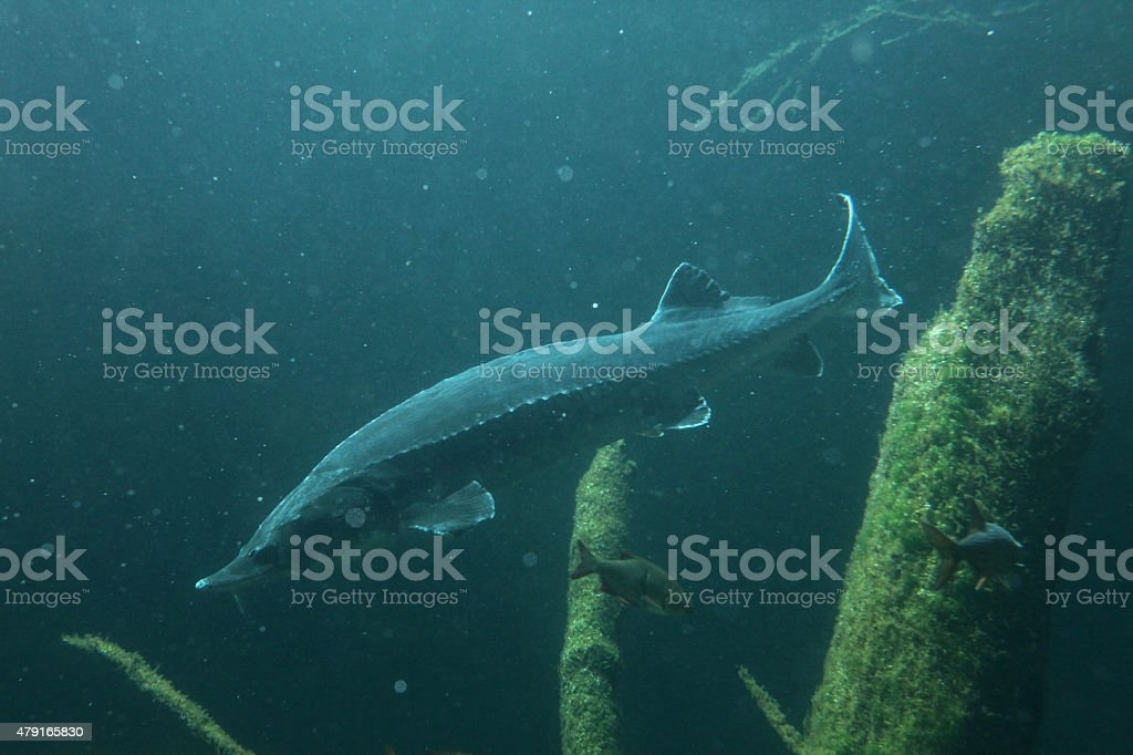 European sturgeon (Huso huso) stock photo