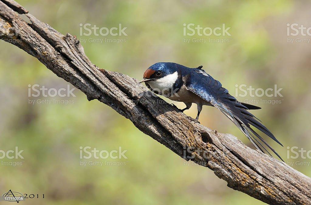 Swallow stretch Europejskiej zbiór zdjęć royalty-free