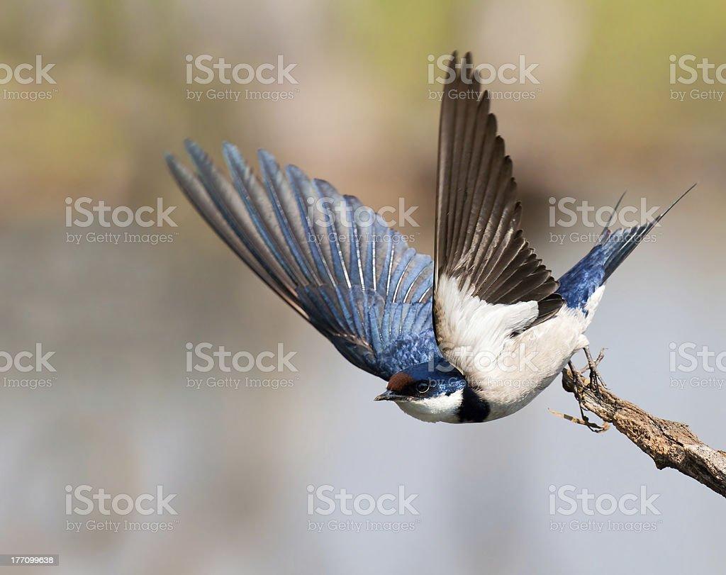 European Swallow startu zbiór zdjęć royalty-free