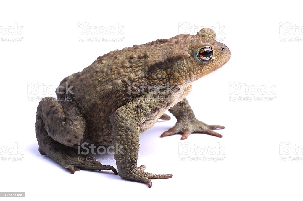 European toad (B. bufo) isolated on white stock photo