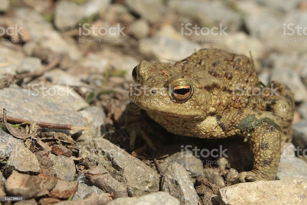 European toad royalty-free stock photo