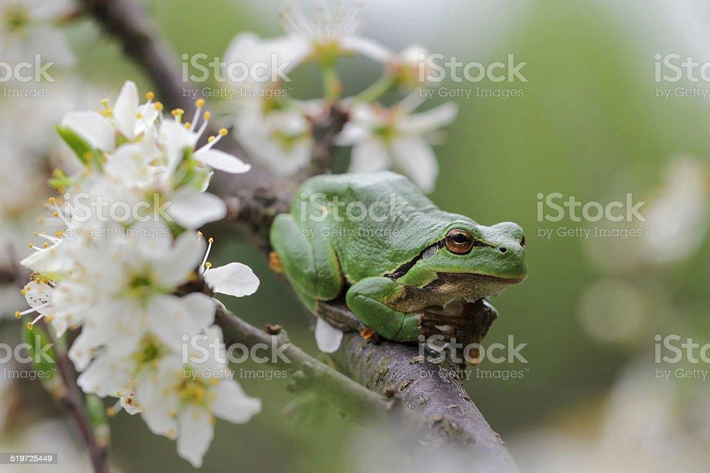 European tree frog, Hyla arborea stock photo